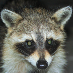 Racoon