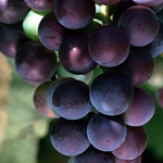 Purple Grape Vine