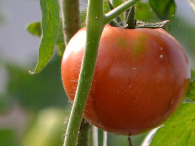 The sun ripening a Polyface Farms tomato