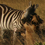 Lion vs. Zebra