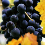grapes_yellow_leaves_t