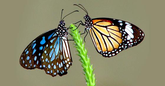 twobutterflies_b